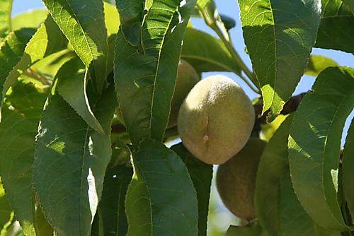 Peaches#3
