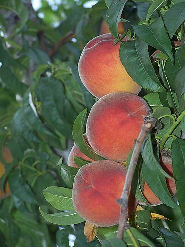 Peaches-#9
