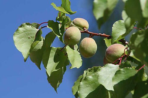 Peaches-#6