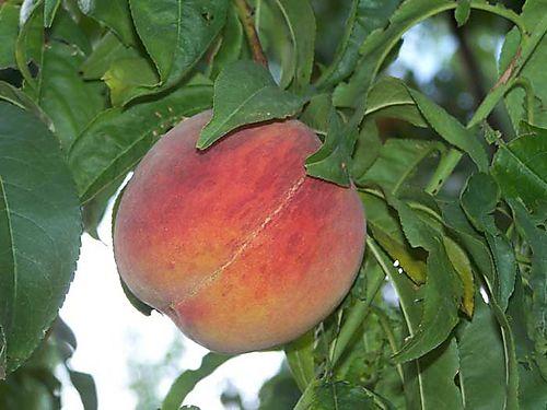 Peaches-#7