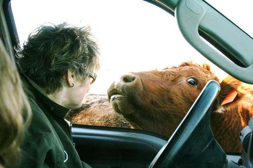CowsE