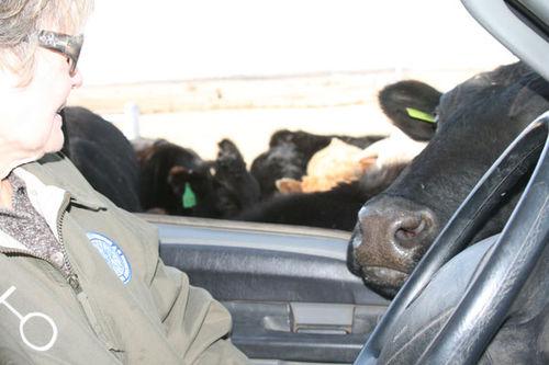 CowsB