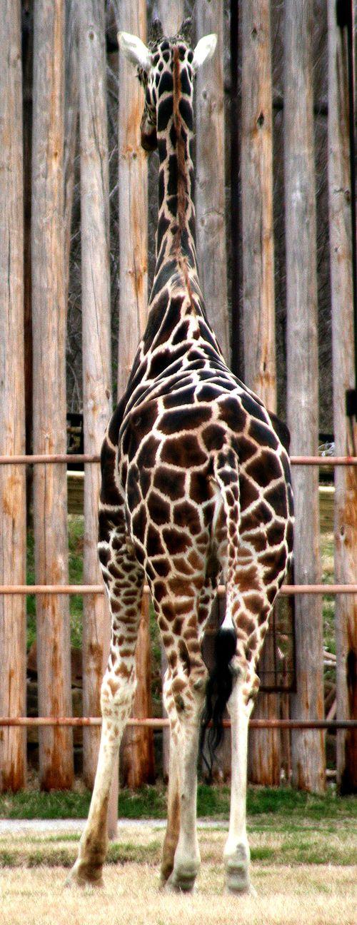 ZooGiraffe