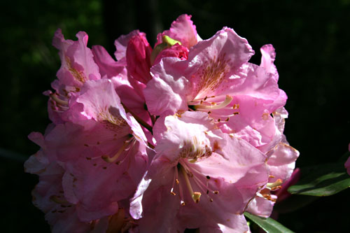 Rododendron_1c