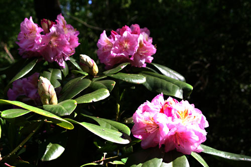 Rododendron_1b