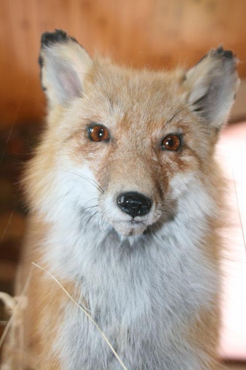 A9f_Fox