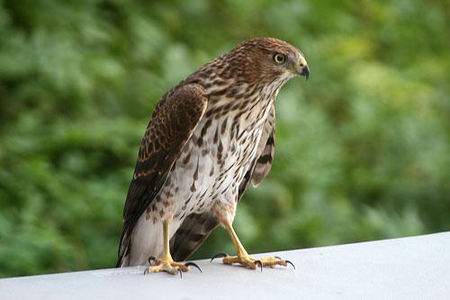 Hawk_1c