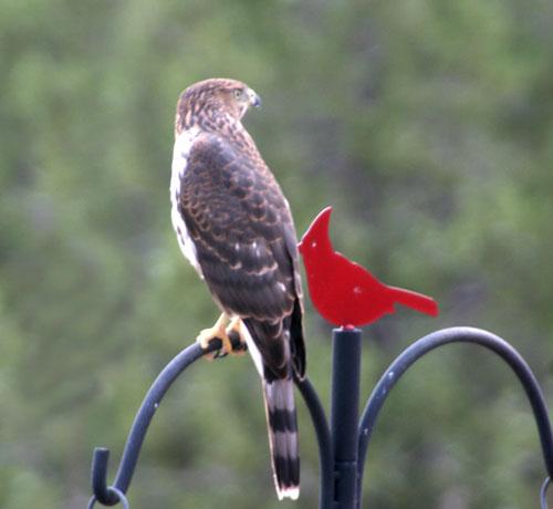 Hawk_1d