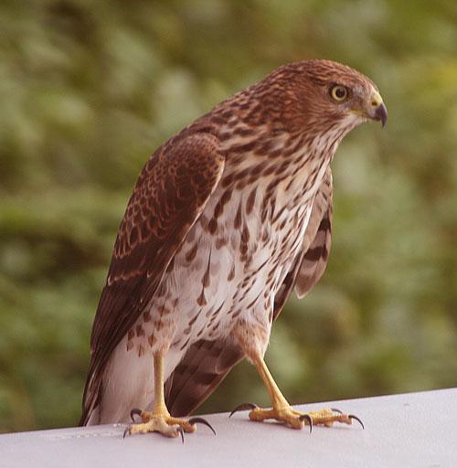 Hawk_1i