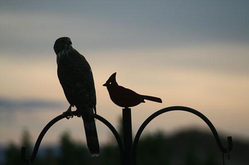 Hawk_1a