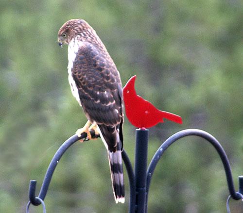 Hawk_1g