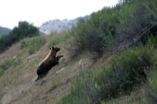 Bear_1e