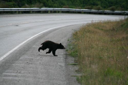 Bear_4