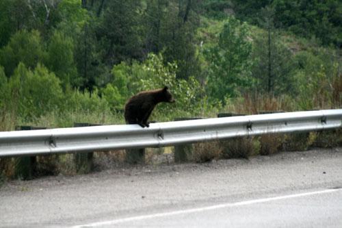 Bear_1c