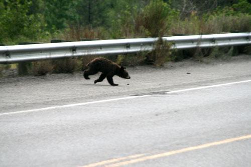 Bear_1a