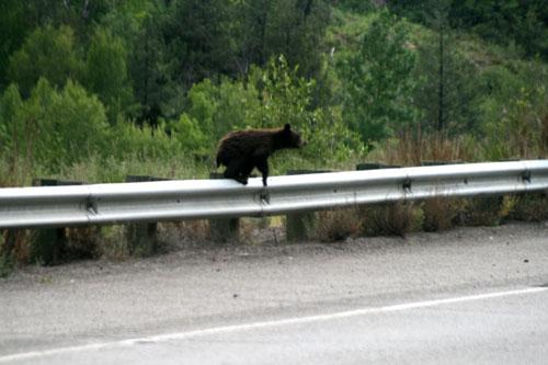 Bear_1b
