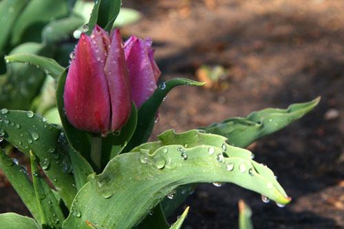Tulip_1d