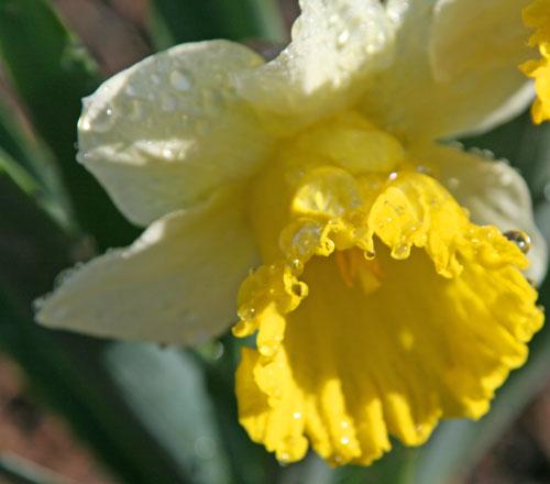 Tulip_1b