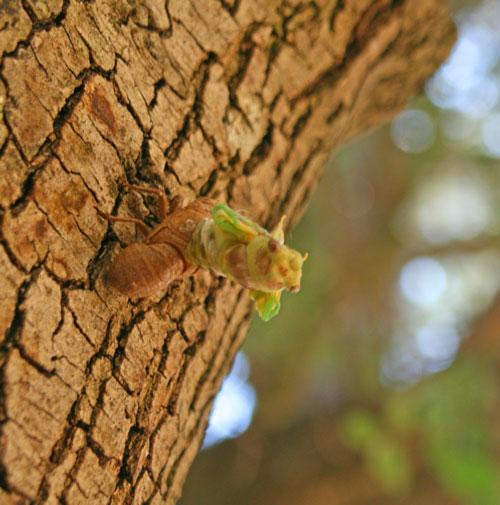 Cicada_1d