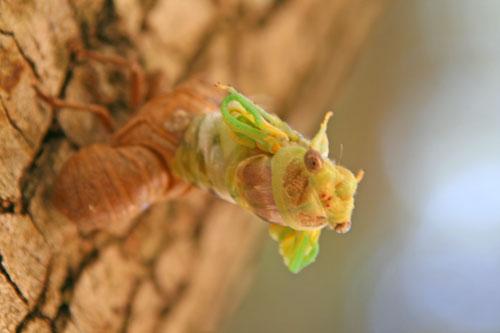 Cicada_1f