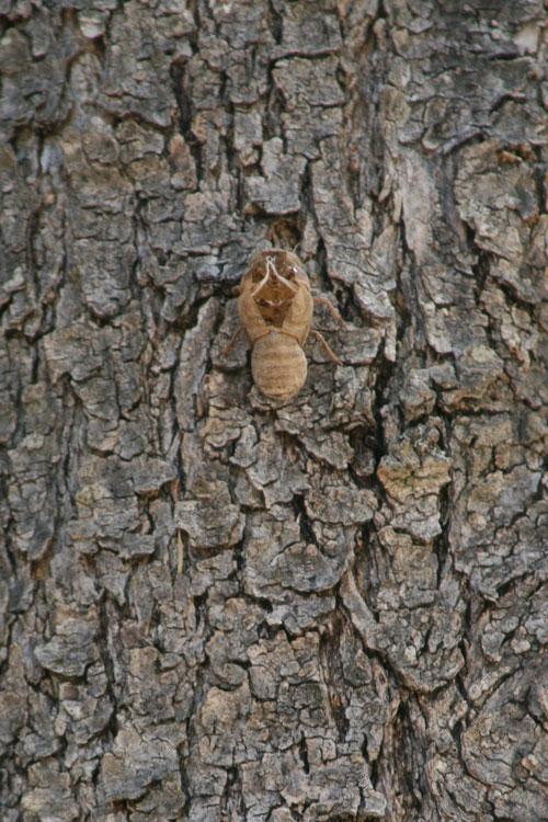 Cicada_1n