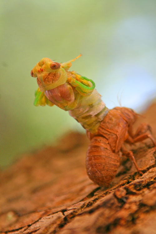 Cicada_1h