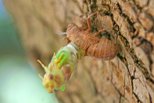Cicada_1j