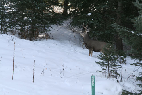 Deer_5a