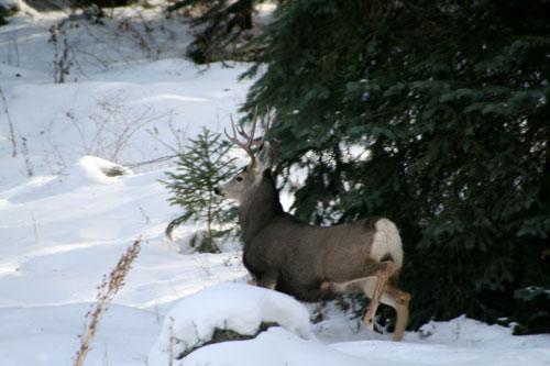 Deer_4a