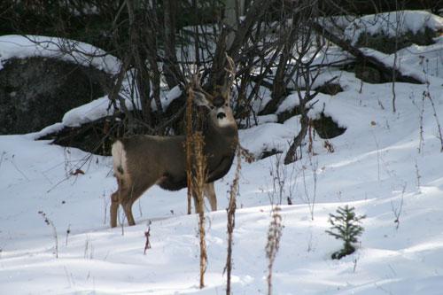 Deer_3a