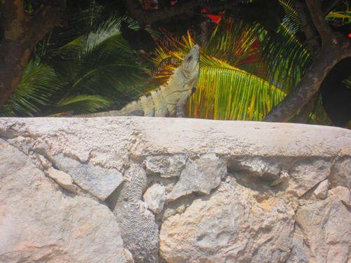 Iguana Walk 025