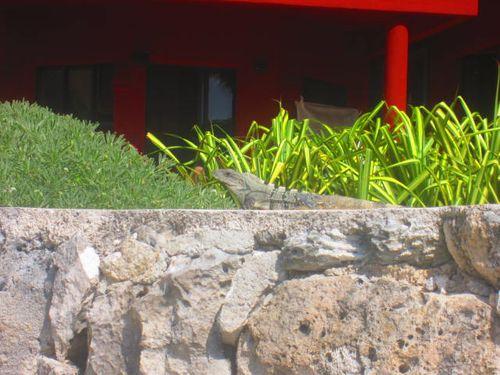 Iguana Walk 034