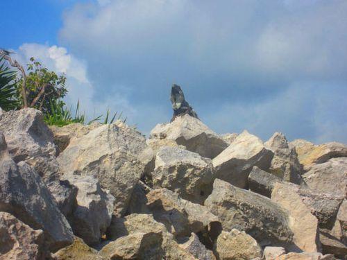 Iguana Walk 041
