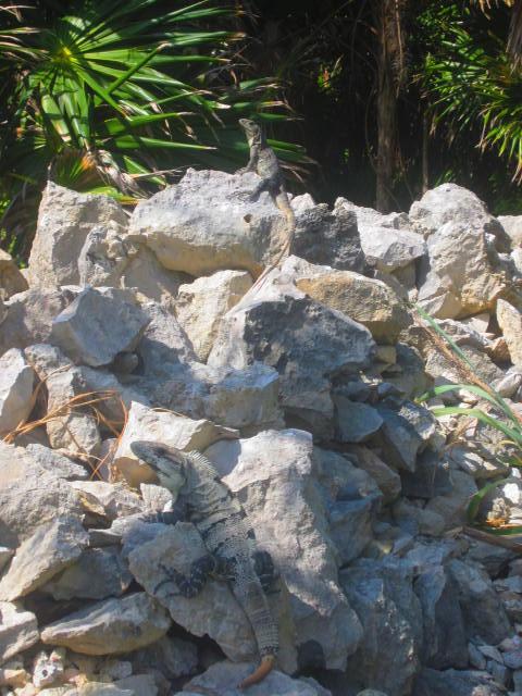 Iguana Walk 045