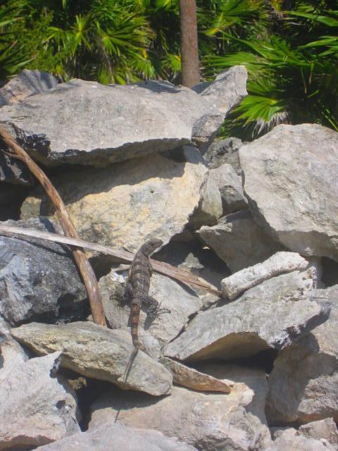 Iguana Walk 065