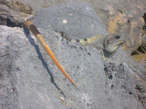 Iguana Walk 087