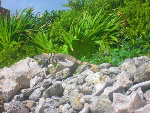 Iguana Walk 107