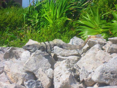Iguana Walk 110