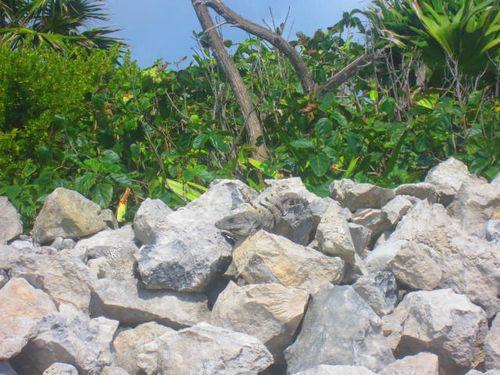 Iguana Walk 117
