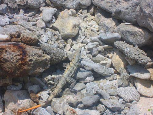 Iguana Walk 118
