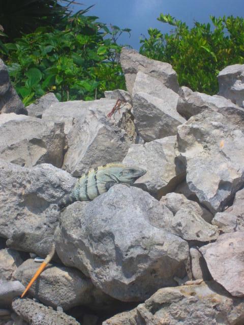 Iguana Walk 120