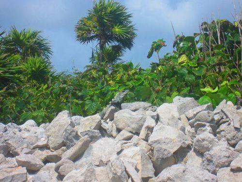 Iguana Walk 121