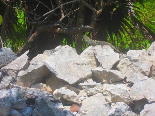Iguana Walk 128