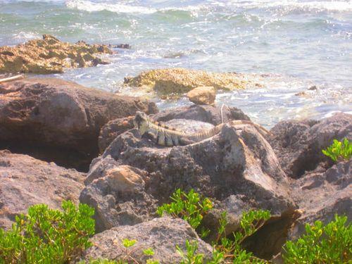 Iguana Walk 151