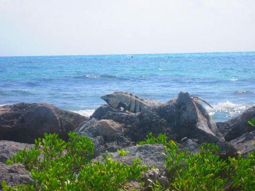 Iguana Walk 153