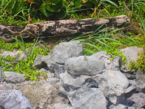 Iguana Walk 007