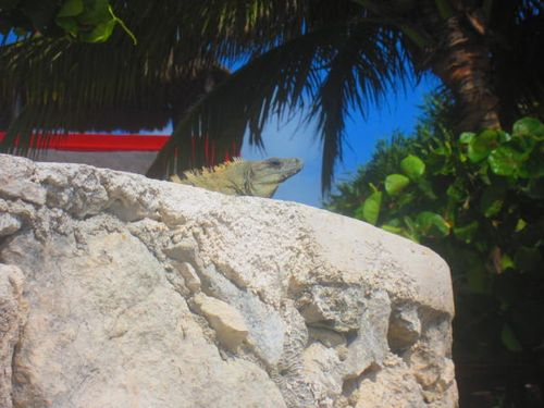 Iguana Walk 027