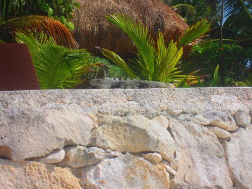Iguana Walk 032