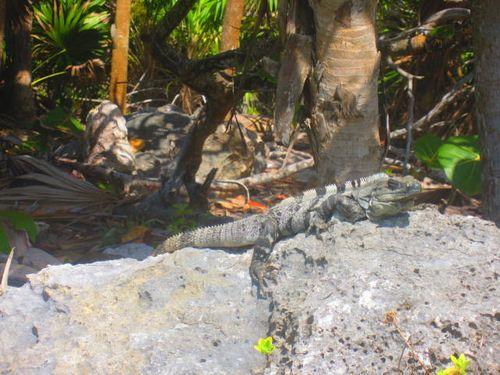 Iguana Walk 069