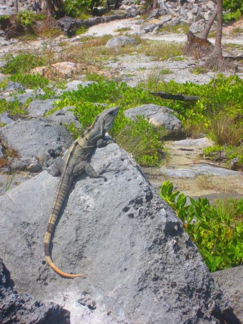 Iguana Walk 078
